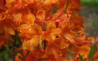 Dons Variegated Native Azalea - Rhododendron