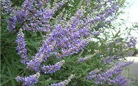 Blue Chaste Tree - Vitex agnus-castus