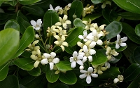 Green Pittosporum - Japanese Mock Orange