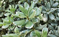 Variegated Pittosporum - Japanese Mock Orange