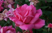 Pink Double Knock Out Rose