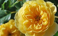 Sunrosa Yellow Shrub Rose