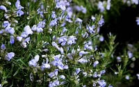 Chef's Choice Rosemary