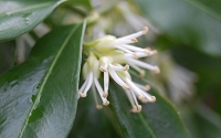 Confused Sweet Box - Sarcococca confusa
