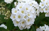 Reeves Bridal Wreath Spirea