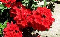 EnduraScape  Red Verbena