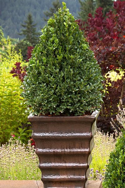 Buy Green Mountain Boxwood For Sale Online From Wilson