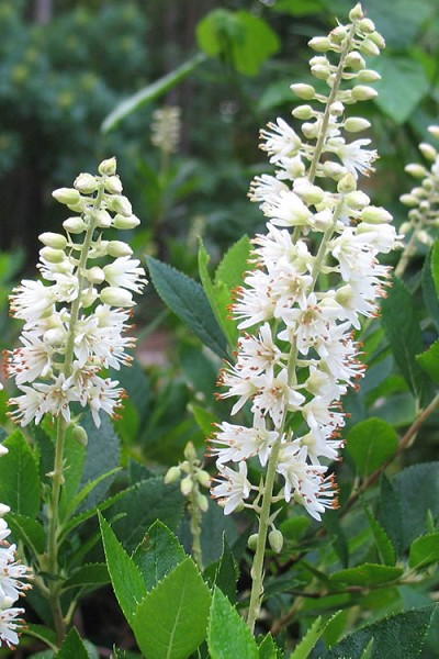 Buy Hummingbird Summersweet Clethra For Sale Online From