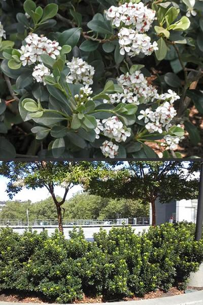 Buy Yedda Indian Hawthorne Rhaphiolepis Umbellata Minor