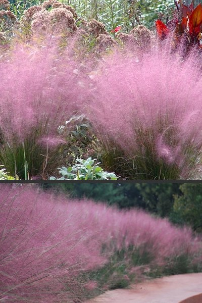 Pink Muhly Grass - Cotton Candy Grass