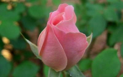 Buy Georgia Peach Shrub Rose Online From Wilson Bros Gardens