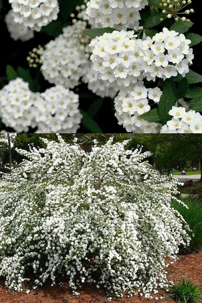 Buy Reeves Bridal Wreath Spirea For Sale Online From