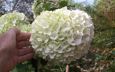 Buy Chinese Snowball Viburnum For Sale Online From Wilson