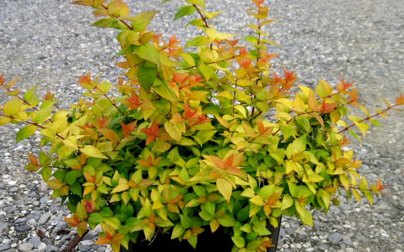 Buy Canyon Creek Abelia Free Shipping For Sale Online From