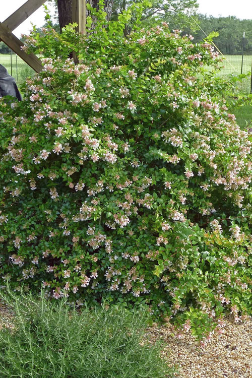 Buy Edward Goucher Abelia Free Shipping 3 Gallon Pot Shrubs For