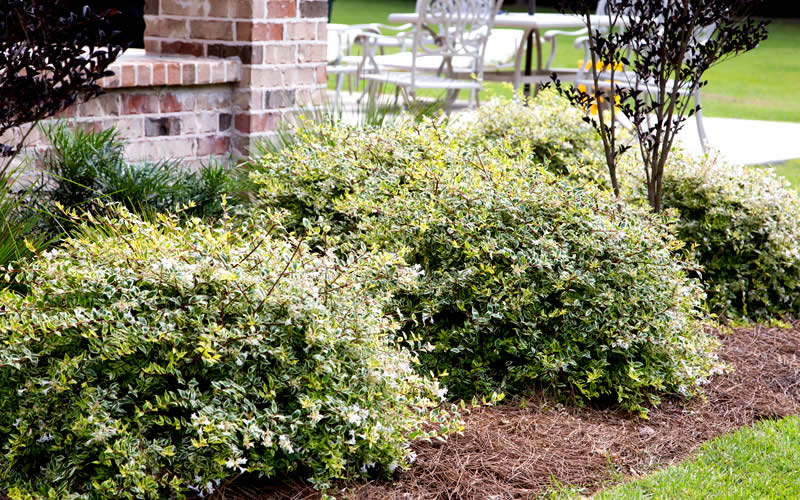 Buy Lemon Lime Abelia Free Shipping 1 Gallon Pots For