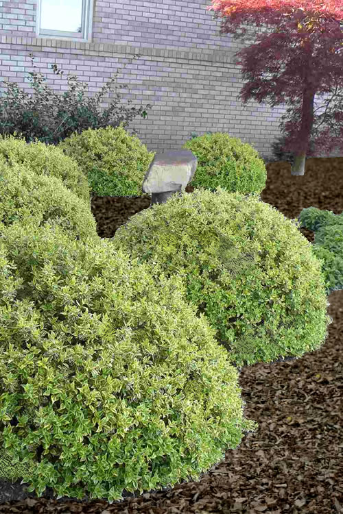 Buy Radiance Abelia For Sale Online From Wilson Bros Gardens