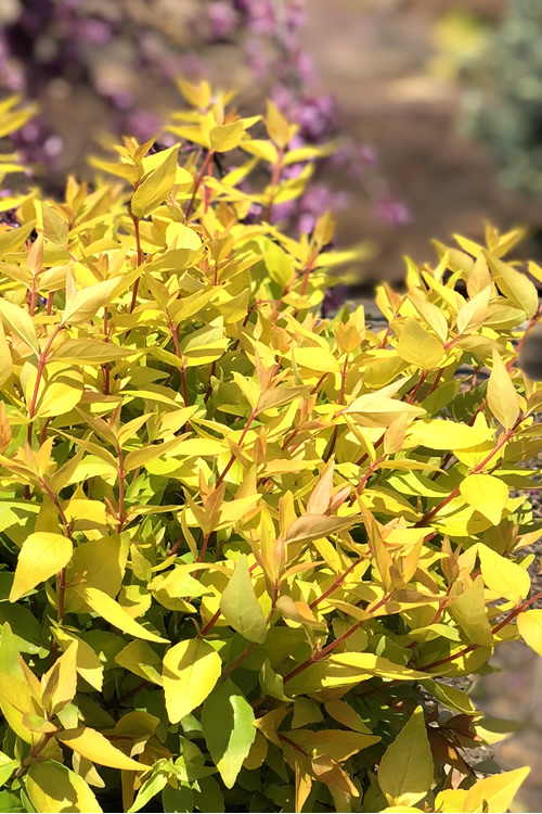 Super Gold Abelia - 3 Gallon Pot