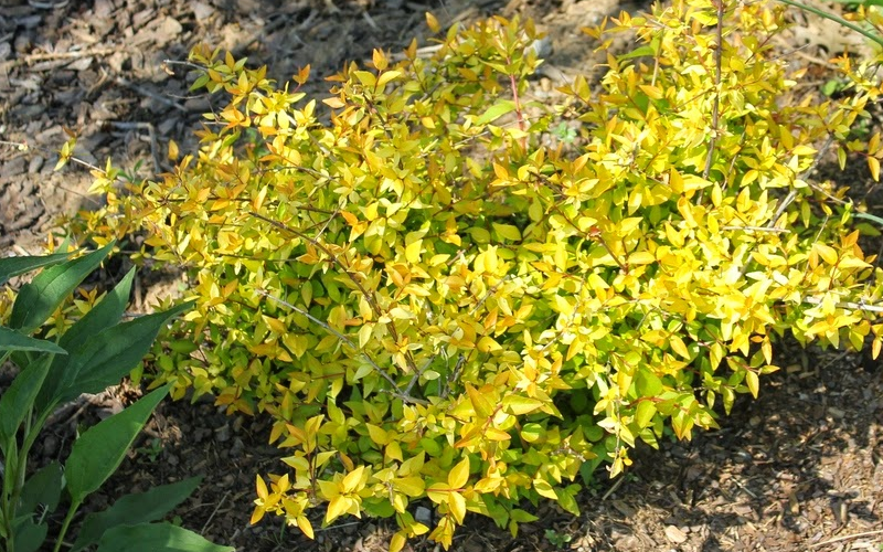 Buy Super Gold Abelia For Sale Online From Wilson Bros Gardens