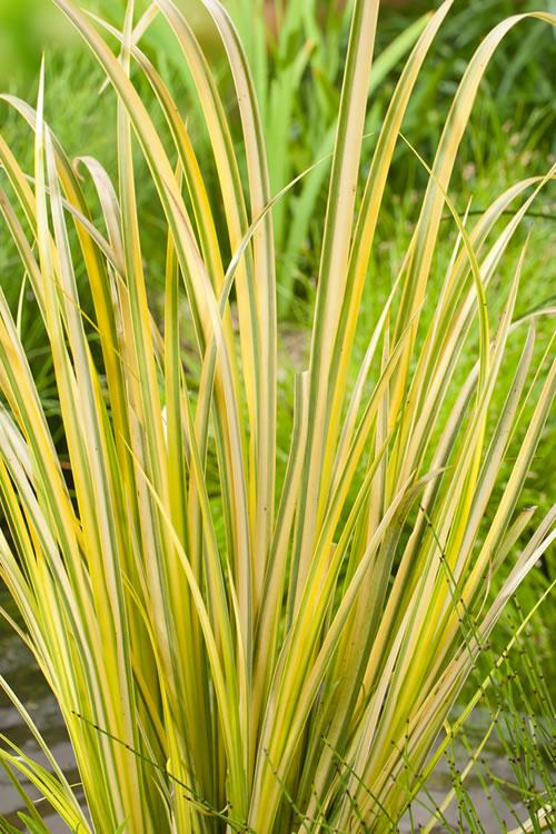 Ornamental Grasses Australia Buy golden sweet flag acorus gramineus ogon for sale online from acorus ogon bsg workwithnaturefo