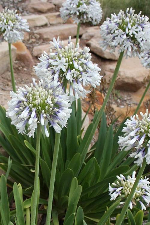 Buy Queen Mum Agapanthus Plants Free Shipping 2 5 Quart