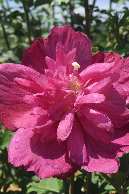 Buy Raspberry Smoothie Rose Of Sharon Free Shipping 3 Gallon Pot