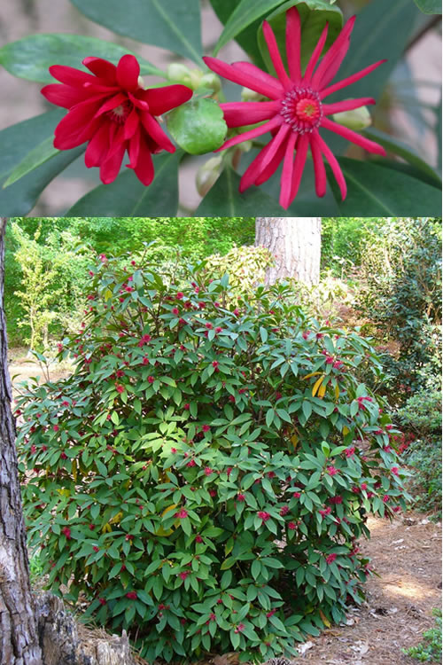 Buy Florida Anise Illicium Floridanum For Sale Online From