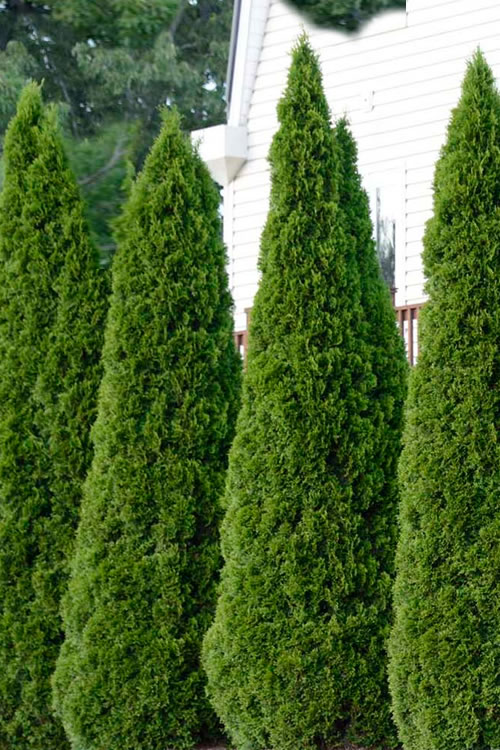 Emerald Green Arborvitae - 3 Gallon Pot