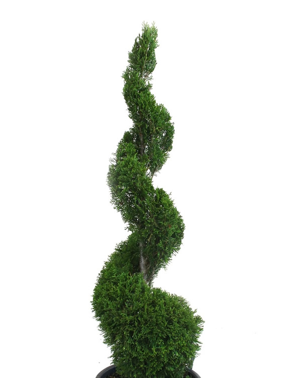 Buy Emerald Green Arborvitae Spiral Topiary For Sale