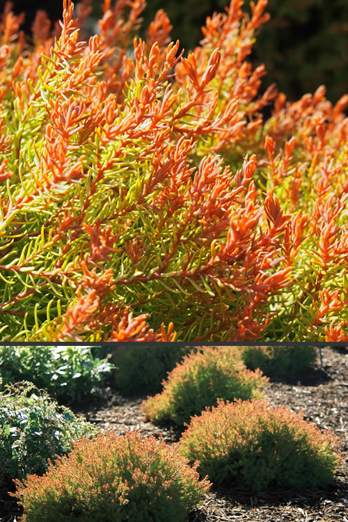Buy Fire Chief Arborvitae Thuga For Sale Online From