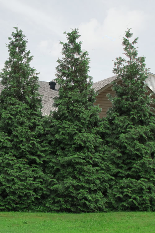 Buy Green Giant Arborvitae Free Shipping Thuja Plants For Sale Online From Wilson Bros Gardens