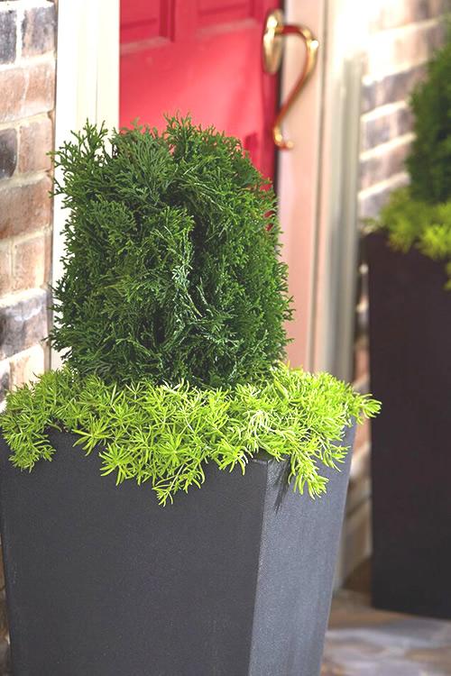 Buy Hot Head Arborvitae Thuja For Sale Online From Wilson