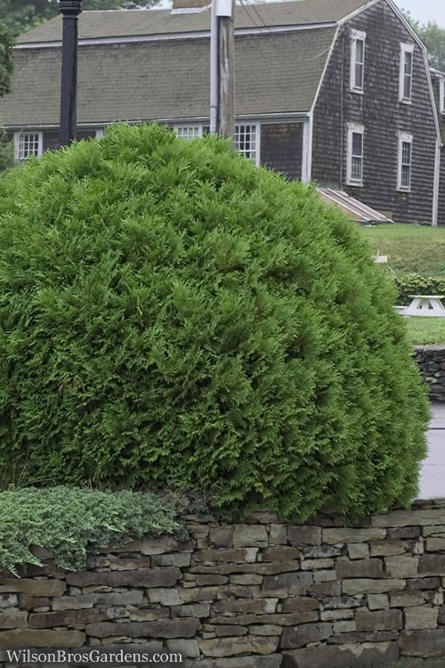 Woodwardii Globe Arborvitae - 1 Gallon Pot