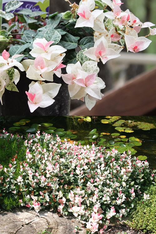 Buy Snow N Summer Asiatic Jasmine Free Shipping 1 Gallon Size