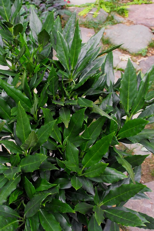 Sawtoothed Aucuba Serratifolia - 3 Gallon Pot