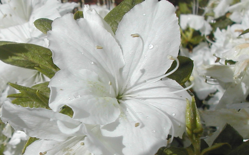 Buy delaware valley white azalea for sale online from wilson bros delaware valley white is a spectacular hybrid evergreen azalea that produces loads of funnel shaped white flowers in spring that nearly covers the mightylinksfo