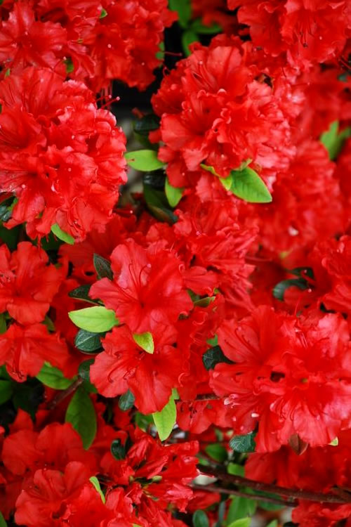 Buy Girard S Hot Shot Azalea For Sale Online From Wilson