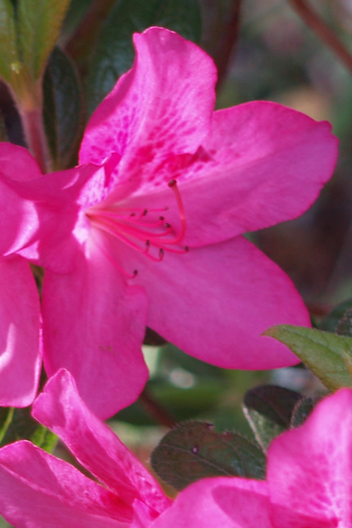 Judge Solomon Southern Indica Azalea - 1 Gallon Pot