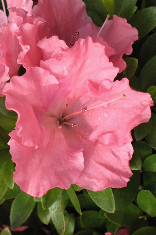 Buy Gumpo Pink Dwarf Azalea Plants For Sale Online From