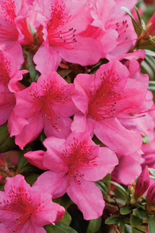 Buy Pride Of Mobile Azalea Bushes Free Shipping