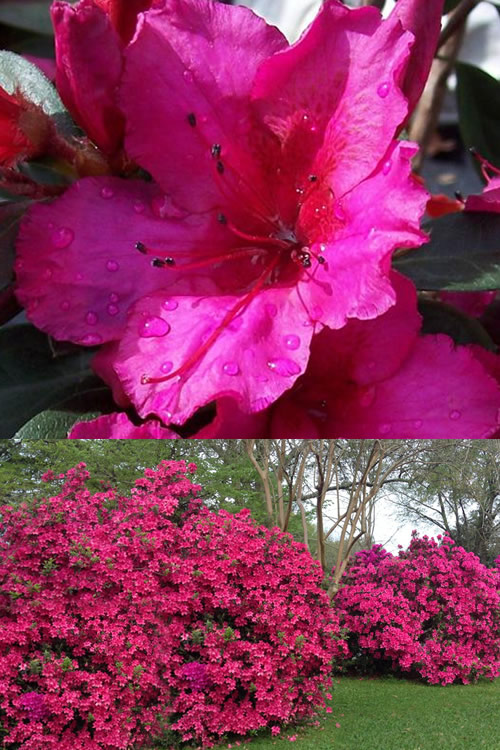 Buy Red Formosa Azalea Free Shipping Southern Indica