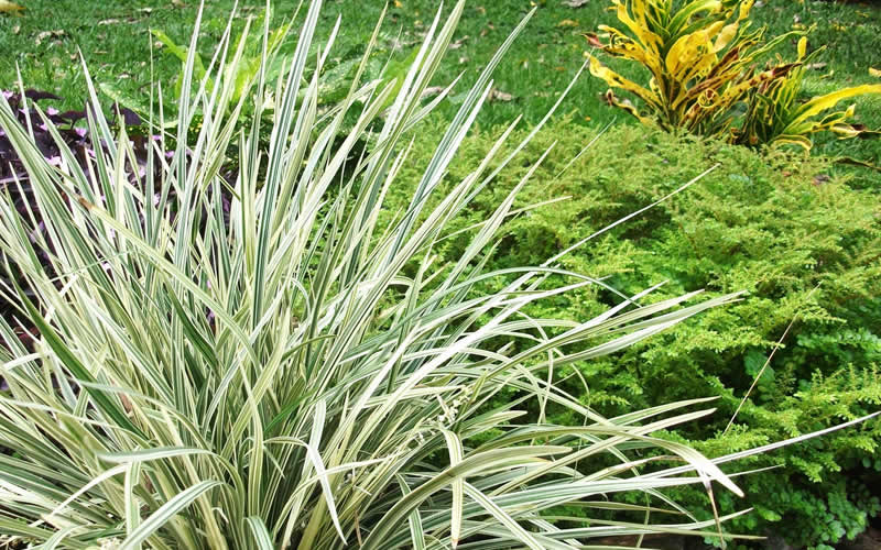 Buy Aztec Grass Liriope Free Shipping 25 Quart Size Pots For