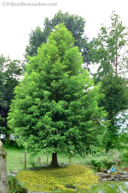 The Bald Cypress is a beautiful, fast-growing and very easy-to-grow North  American native tree. How fast and tall it grows will depend on soil  moisture.