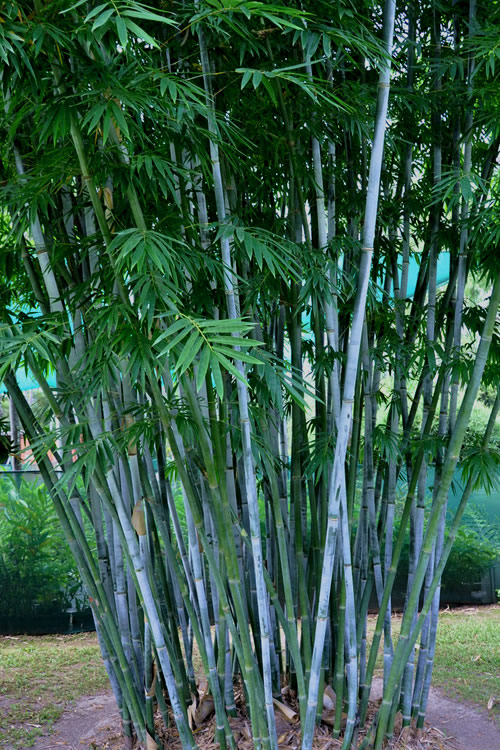 Buy Baby Blue Bamboo Plants Free Shipping 2 Gallon Size