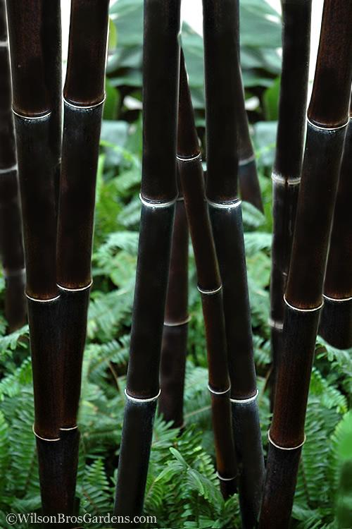 Buy Black Bamboo Plants Free Shipping 3 Gallon Pot