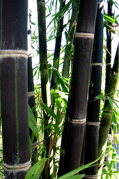 Buy Black Bamboo Phyllostachys Nigra For Sale Online From