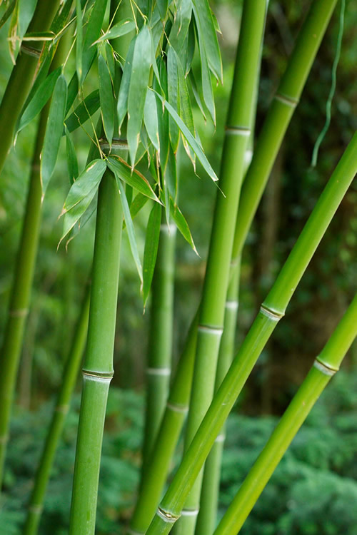 Buy Dwarf Bisset Bamboo Free Shipping Phyllostachys Bissetii