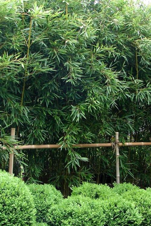 Buy Humilis Hedge Bamboo Plants Free Shipping 3 Gallon Pot