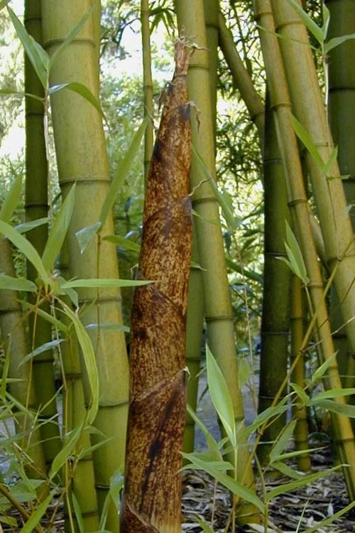 Buy Madake Giant Japanese Timber Bamboo Free Shipping