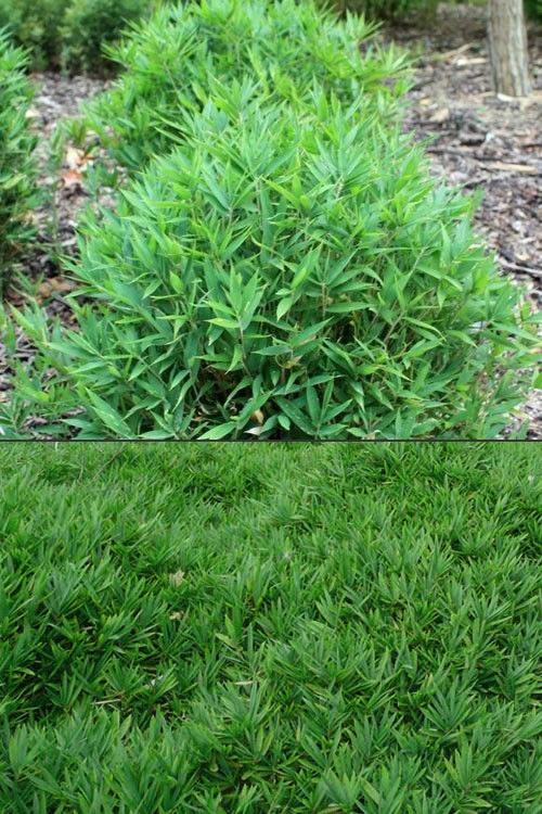 Buy Dwarf Fernleaf Bamboo Pleioblastus Distichus Mini